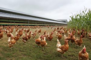12 ways to eliminate odour on poultry farms